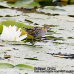 Porzana (Porzana) pusilla (Baillon's Crake) at Wairo Beach and Dolphin Point - 20 Oct 2018 by Charles Dove