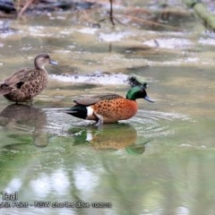 Anas castanea (Chestnut Teal) at Wairo Beach and Dolphin Point - 18 Oct 2018 by Charles Dove