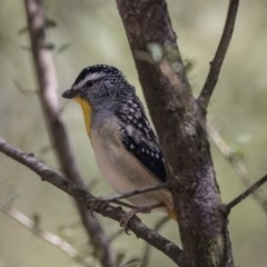 Pardalotus punctatus (Spotted Pardalote) at Tidbinbilla Nature Reserve - 27 Sep 2018 by Alison Milton