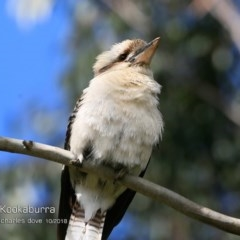 Dacelo novaeguineae (Laughing Kookaburra) at Wairo Beach and Dolphin Point - 14 Oct 2018 by Charles Dove