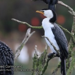 Microcarbo melanoleucos (Little Pied Cormorant) at Wairo Beach and Dolphin Point - 13 Oct 2018 by Charles Dove