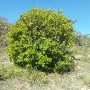 Hakea salicifolia at Mount Taylor - 24 Oct 2018