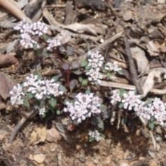 Poranthera microphylla (Poranthera) at Namadgi National Park - 23 Oct 2018 by Christine