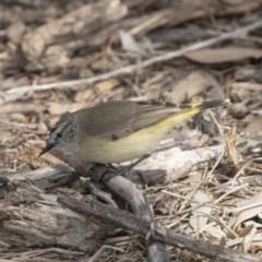 Acanthiza chrysorrhoa (Yellow-rumped Thornbill) at Jerrabomberra Wetlands - 3 Sep 2018 by Alison Milton