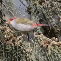 Neochmia temporalis (Red-browed Finch) at Jerrabomberra Wetlands - 3 Sep 2018 by Alison Milton