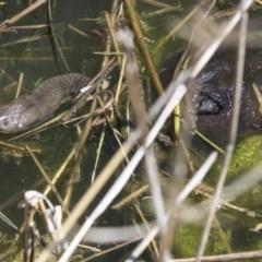 Chelodina longicollis (Eastern Long-neck Turtle) at Paddys River, ACT - 28 Sep 2018 by Alison Milton