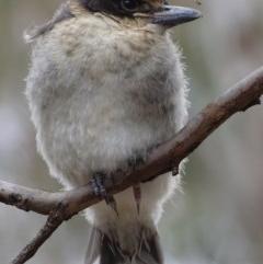 Cracticus torquatus (Grey Butcherbird) at Hughes, ACT - 13 Oct 2018 by roymcd