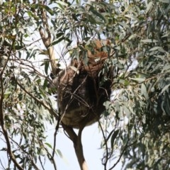 Phascolarctos cinereus (Koala) at Tidbinbilla Nature Reserve - 28 Sep 2018 by AlisonMilton