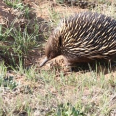 Tachyglossus aculeatus (Short-beaked Echidna) at Molonglo River Park - 28 Sep 2018 by Alison Milton
