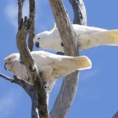 Cacatua galerita (Sulphur-crested Cockatoo) at The Pinnacle - 7 Oct 2018 by Alison Milton