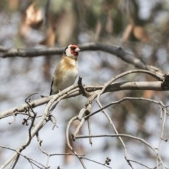 Carduelis carduelis (European Goldfinch) at Jerrabomberra Wetlands - 8 Oct 2018 by Alison Milton