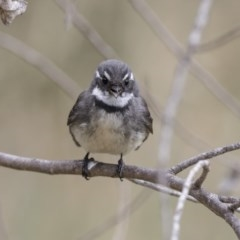 Rhipidura fuliginosa (Grey Fantail) at Jerrabomberra Wetlands - 13 Oct 2018 by Alison Milton