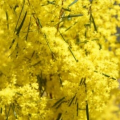 Acacia boormanii (Snowy River Wattle) at Wamboin, NSW - 30 Sep 2018 by natureguy