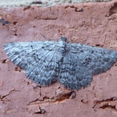 Boarmiini sp. (tribe) (Geometer moth) at Flynn, ACT - 20 Oct 2018 by Christine