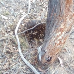 Tachyglossus aculeatus (Short-beaked Echidna) at Stromlo, ACT - 16 Oct 2018 by ArcherCallaway