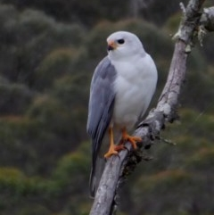 Accipiter novaehollandiae (Grey Goshawk) at Brogo, NSW - 26 Oct 2018 by MaxCampbell
