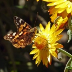 Vanessa kershawi (Australian Painted Lady) at ANBG - 26 Oct 2018 by RodDeb