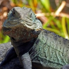 Intellagama lesueurii (Eastern Water Dragon) at ANBG - 25 Oct 2018 by RodDeb