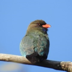Eurystomus orientalis (Dollarbird) at Mcquoids Hill - 26 Oct 2018 by HelenCross