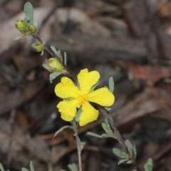 Hibbertia obtusifolia (Grey Guinea-flower) at Black Mountain - 17 Nov 2017 by PeteWoodall