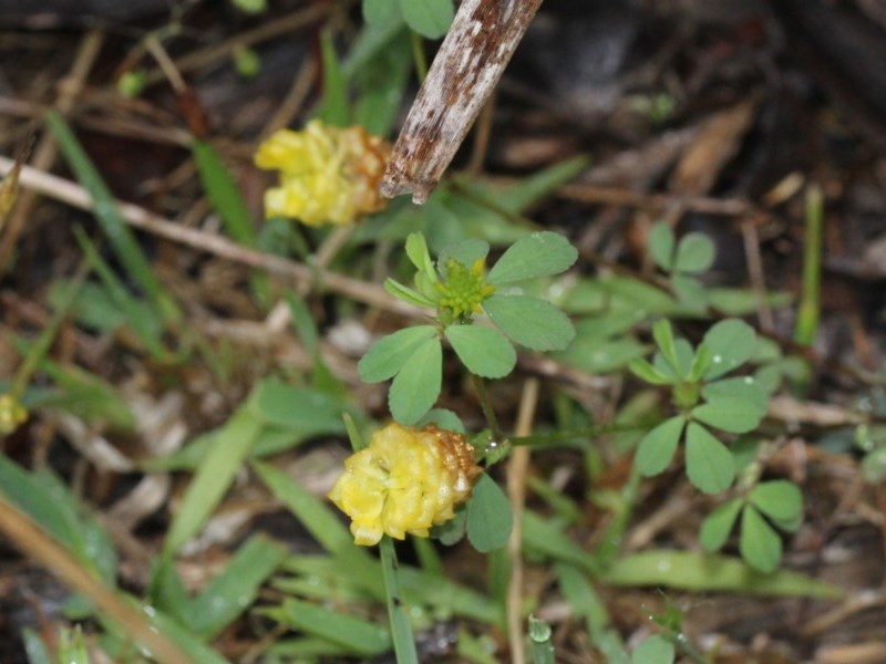 Trifolium campestre at Black Mountain - 18 Nov 2017
