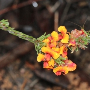 Dillwynia sp. at Black Mountain - 18 Nov 2017
