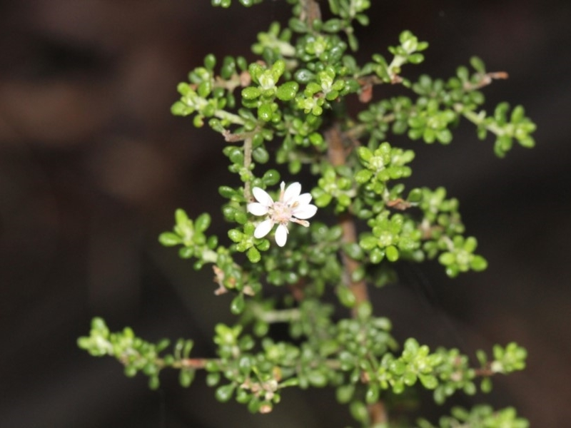 Olearia microphylla at Black Mountain - 18 Nov 2017