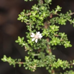Olearia microphylla (Olearia) at Black Mountain - 17 Nov 2017 by PeteWoodall
