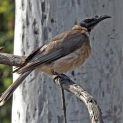 Philemon corniculatus (Noisy Friarbird) at Macarthur, ACT - 27 Oct 2018 by RodDeb