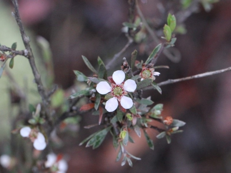 Leptospermum multicaule at Black Mountain - 18 Nov 2017