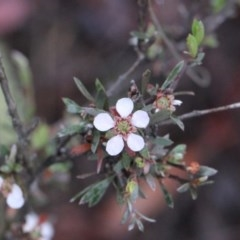 Leptospermum multicaule (Teatree) at Black Mountain - 17 Nov 2017 by PeteWoodall