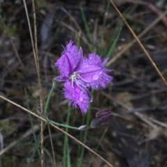 Thysanotus tuberosus subsp. tuberosus (Common Fringe-lily) at Black Mountain - 17 Nov 2017 by PeteWoodall