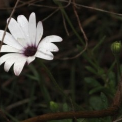 Dimorphotheca ecklonis (African Daisy) at Black Mountain - 17 Nov 2017 by PeteWoodall
