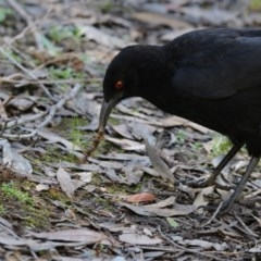 Corcorax melanorhamphos (White-winged Chough) at ANBG - 18 Oct 2018 by Alison Milton