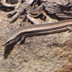 Morethia boulengeri (Boulenger's Skink) at Black Mountain - 26 Oct 2018 by Christine