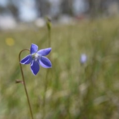 Wahlenbergia sp. (Bluebell) at Hall, ACT - 27 Oct 2018 by ClubFED