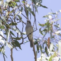 Pachycephala pectoralis (Golden Whistler) at ANBG - 18 Oct 2018 by Alison Milton