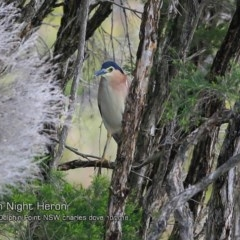 Nycticorax caledonicus (Nankeen Night-Heron) at Wairo Beach and Dolphin Point - 20 Oct 2018 by Charles Dove