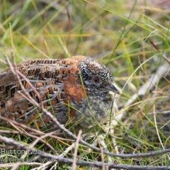 Turnix varius (Painted Button Quail) at One Track For All - 22 Oct 2018 by Charles Dove