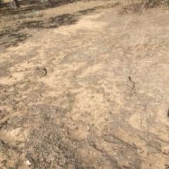 Pogona barbata at Hughes Grassy Woodland - 27 Oct 2018