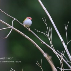 Neochmia temporalis (Red-browed Finch) at South Pacific Heathland Reserve - 20 Oct 2018 by Charles Dove