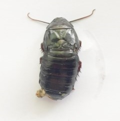 Panesthia australis (Common wood cockroach) at Hughes, ACT - 27 Oct 2018 by ruthkerruish