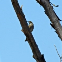 Caligavis chrysops (Yellow-faced Honeyeater) at Jerrabomberra Wetlands - 28 Oct 2018 by RodDeb