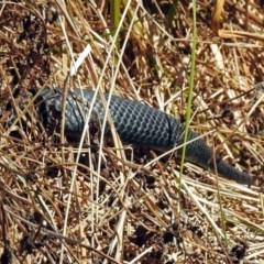 Pseudechis porphyriacus (Red-bellied Black Snake) at Jerrabomberra Wetlands - 28 Oct 2018 by RodDeb