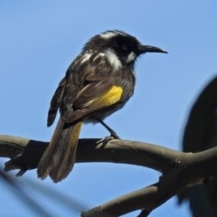 Phylidonyris novaehollandiae (New Holland Honeyeater) at Jerrabomberra Wetlands - 28 Oct 2018 by RodDeb