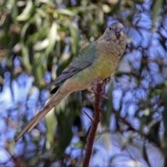 Psephotus haematonotus at Jerrabomberra Wetlands - 28 Oct 2018