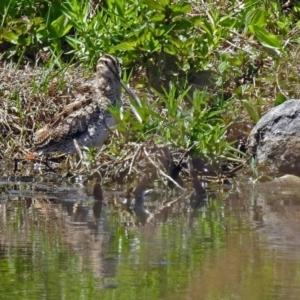 Gallinago hardwickii at Jerrabomberra Wetlands - 28 Oct 2018