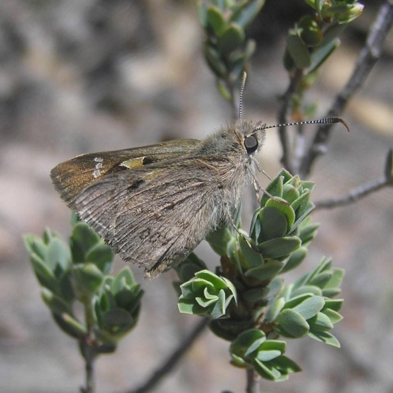 Trapezites phigalia at Kambah, ACT - 29 Oct 2018
