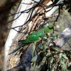 Alisterus scapularis (Australian King-Parrot) at Wandiyali-Environa Conservation Area - 26 Oct 2018 by Wandiyali
