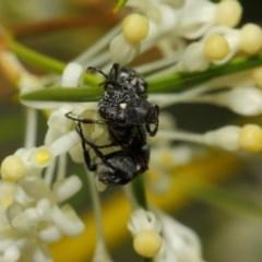 Microvalgus sp. (genus) at ANBG - 28 Oct 2018